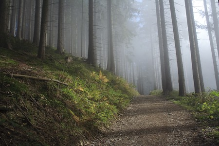 foggy forest in autumn with tall pines Stock Photo - 7978563
