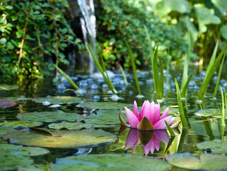 water lily Imagens