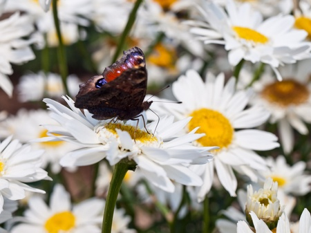 butterfly on marguerite