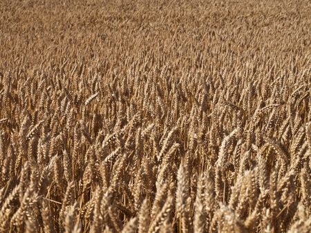 wheat land background Stock Photo