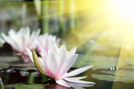 water lily background Stock Photo - 17288355