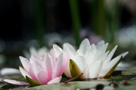water lily Imagens - 17316886