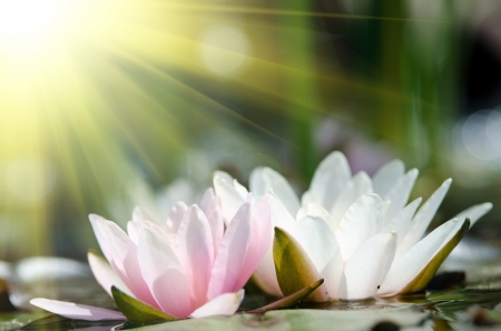 water lily Imagens - 17316884