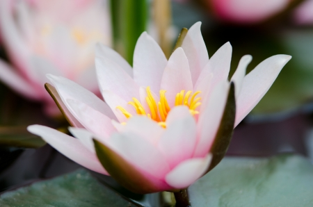 beautiful water lily background