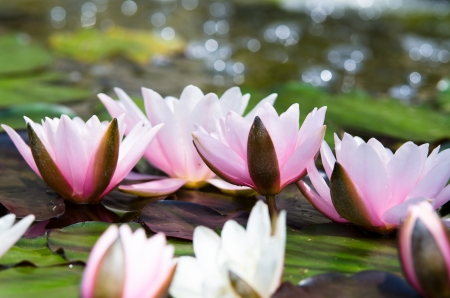 water lily Imagens - 17316877