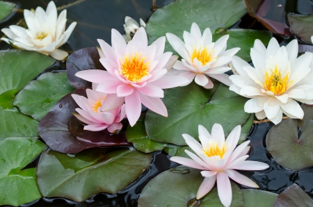 water lily bacground Imagens - 17288405