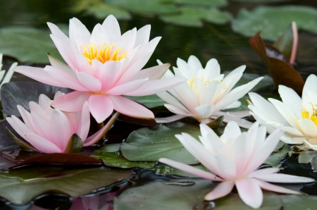 water lily bacground Stock Photo - 17288394