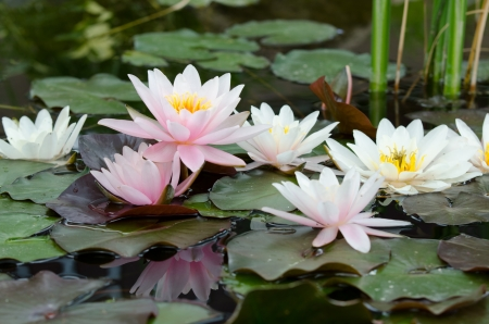 water lily bacground Stock Photo - 17288438