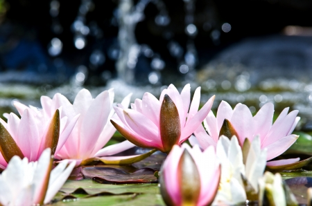 water lily background Stock Photo - 17288439