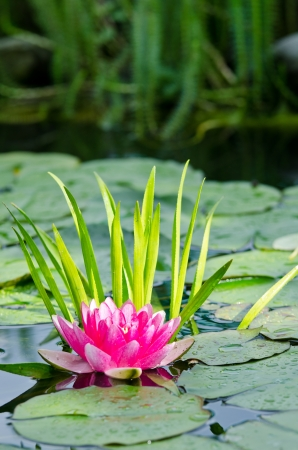 water lily background Stock Photo - 17282496