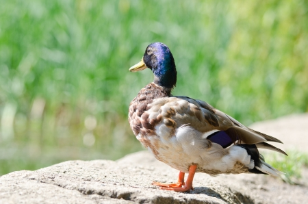 wild duck background Stock Photo