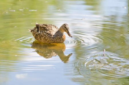 wild duck background Imagens