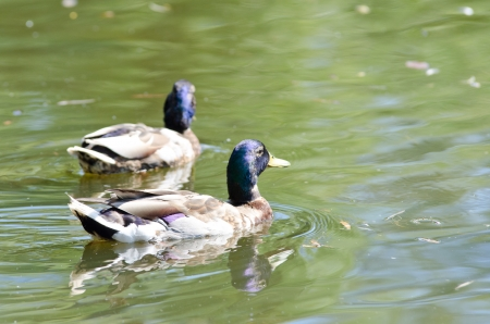 two wild duck on the lake
