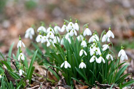 Beautiful snowdrops background