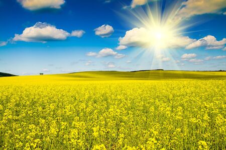beautiful rape field