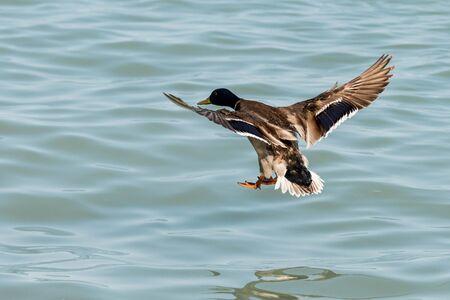 beautiful duck at Balaton Stock fotó