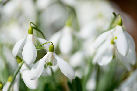 fiori bianchi bucaneve in primavera