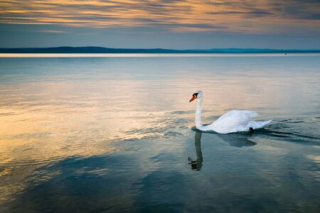 Swans on the lake Balaton in the sunset. Imagens
