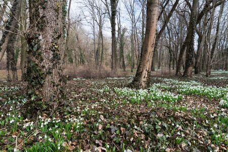 white snowdrop flowers in spring Imagens