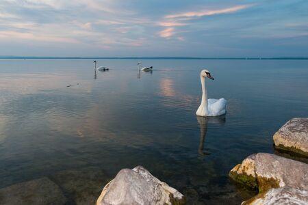 swan in the lake Imagens