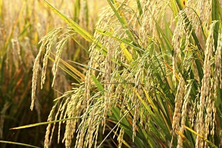 ear of rice ready for harvest in thai land photo