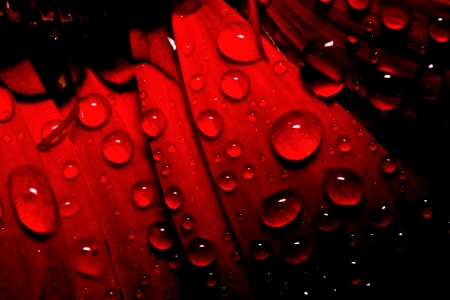 dew drop on red gerbera