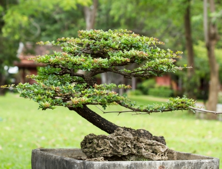 bonsai in the garden photo
