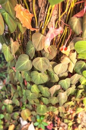betel leaf grow on the tree Stock Photo - 16979587