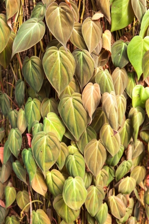 forest betel leaf on the tree Stock Photo - 16979586