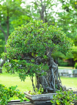 beautiful bonsai in the garden photo
