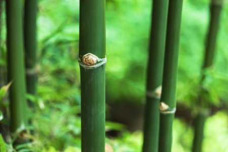 bamboo in the jungle photo