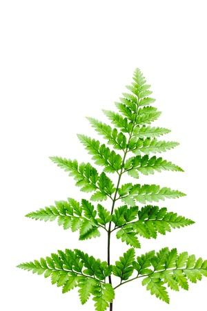 fern leaf on white background photo