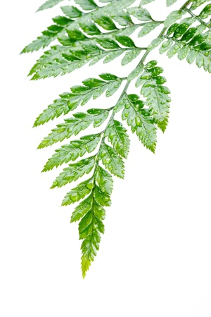 plentifully: fern with dew drop on white background Stock Photo