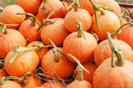 pumpkin pile after harvest Stock Photo