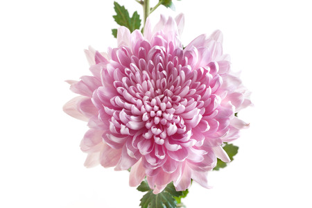 Pink Chrysanthemum Flower on white background