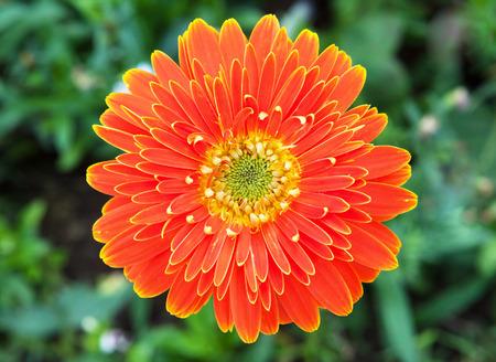 orange gerbera: orange gerbera with grass background Stock Photo