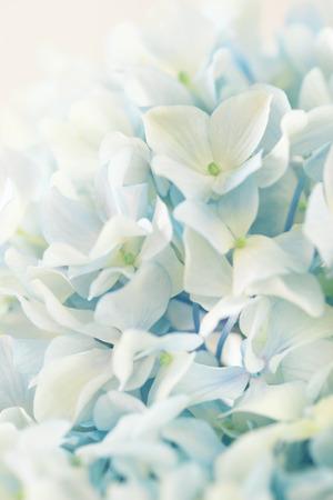 hydrangea flower: blue hydrangea flower with color effect Stock Photo