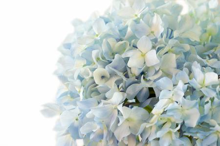 hydrangea flower: blue hydrangea flower on white background