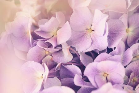 hydrangea flower: purple hydrangea flower with color effect