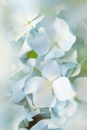 hydrangea flower: blue hydrangea flower with color effect and solf light Stock Photo