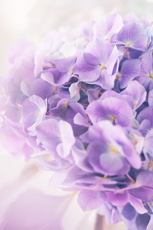 color effect: purple hydrangea flower with color effect and solf light