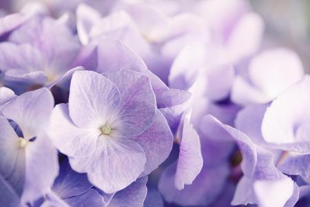 hydrangea flower: purple hydrangea flower with solf light