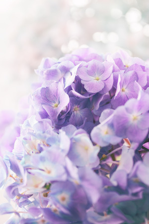 hydrangea flower: purple hydrangea flower with color effect and solf light
