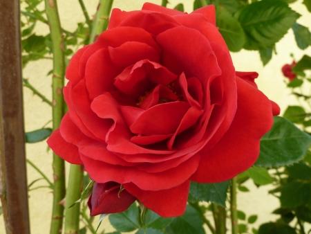 flagging: Rose  red
