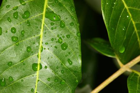 rain drop on fresh green leaf plant macro view