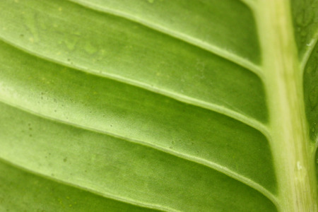 macro view of Colocasia esculenta,the big green leaf.