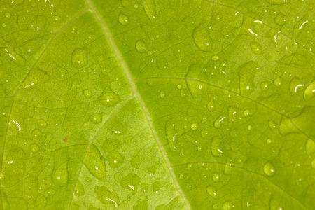 lot of rain drop on fresh green leaf plant. very closeup shot.