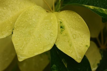 rain on the yellow leaf plant.