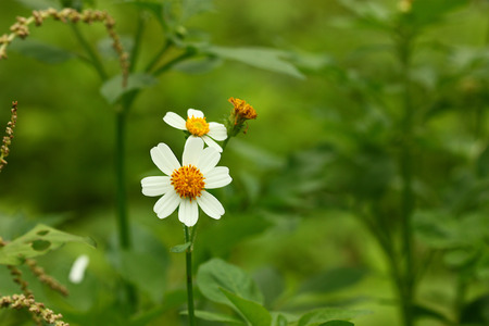 white flowers of a camomile on a green meadow