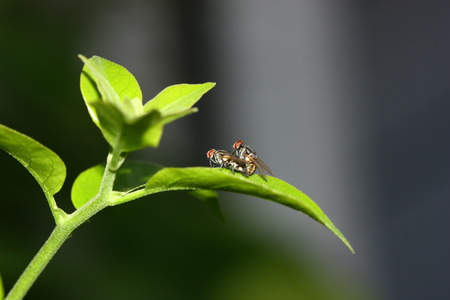 side view of fly mating blur background in morning on green plant Stock Photo
